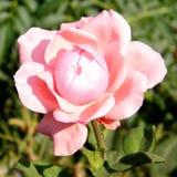 Eller Yehuda Rose isolerade 2010 Arkivfoto
