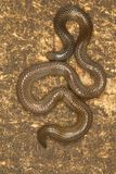 Elliot`s shieldtail snake, Uropeltis ellioti. Western Ghats of Kaas plateau. Satara district, Maharashtra Stock Image