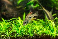 Ellioti de Cichlasoma, fritura de peixe do ellioti de Thorichthys Imagem de Stock