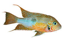 Ellioti mexicano de Thorichthys da boca do fogo Fotos de Stock Royalty Free