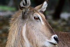 Ellipsiprymnusclose-up van Waterbuckkobus van gezicht met grasslan Royalty-vrije Stock Foto