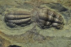 Ellipsocephallus. The Paleozoic Cambrian trilobite ellipsocephalus hoffi from the Barrandian area in the central bohemia Stock Images