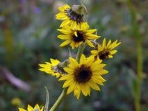 Ellisi de Cremanthodium, Mini Sunflower Himalayan Fotos de archivo libres de regalías
