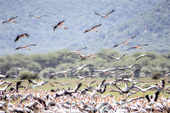 Ellow开帐单的鹳Mycteria朱鹭飞行到一片被充斥的沼泽地里在坦桑尼亚 免版税图库摄影
