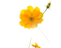 Yellow Cosmos flower under the sunlight Stock Photography