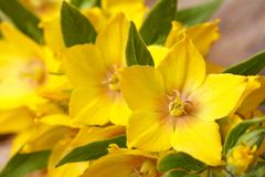 Ellow flowers Lysimachia punctata macro horizontal Royalty Free Stock Images