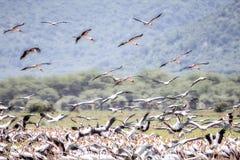 Ellow-gefactureerde de ibisvlieg van Ooievaarsmycteria in een Overstroomd Moerasland in Tanzania royalty-vrije stock fotografie