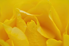 Ellow rose. Close-up Royalty Free Stock Photo