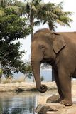 Elly. Indian elephant close up at water hole royalty free stock photo
