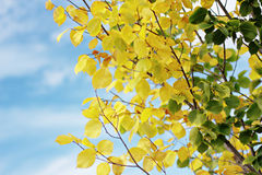 Elm. Autumn elm on blue sky background Royalty Free Stock Photos