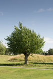 Elm tree. In the summer sun Stock Photography