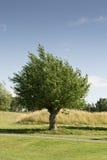 Elm tree stock photography