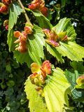 Elm aphid galls Royalty Free Stock Photo