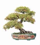 Elm bonsai. Chinese gardening, elm on a white background stock image