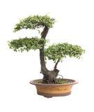 Elm bonsai. Chinese garden, the elm bonsai on a white background stock photo