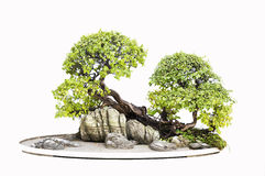 Elm bonsai. Chinese gardening, elm on a white background royalty free stock photography