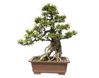 Elm bonsai Stock Photography