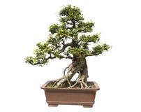 Elm bonsai. White background,Chinese gardening stock photography