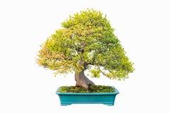 Elm bonsai in autumn Stock Photo