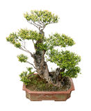 Elm bonsai tree Stock Images