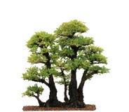 Elm Bonsai Tree Stock Images