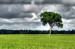 Elm with clouds. Elm tree in a corn field with a ominous sky behind royalty free stock images