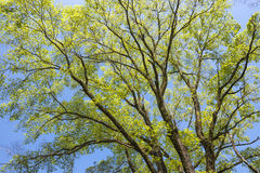 Elm green branches Royalty Free Stock Photo