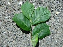 Elm green leaf. Ulmus glabra Royalty Free Stock Photography