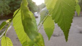 Elm green leaves in a park the sun flares backlit stock footage
