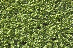 Elm hedge background Stock Photo
