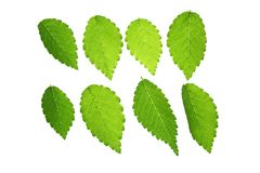 Elm leaves Royalty Free Stock Photo