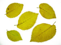 Elm leaves Royalty Free Stock Photography