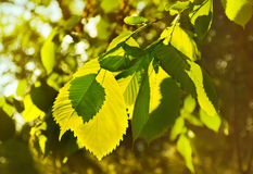 Elm leaves in a beautiful backlit. Royalty Free Stock Images