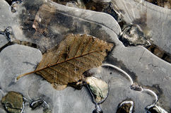 Elm  leaves embedded into a layer of ice Royalty Free Stock Images