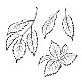 Elm Leaves, Pictogram Set. Set of Plant Pictograms, Elm Tree Leaves, Black on White. Vector Royalty Free Stock Image
