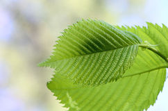 Elm leaves Royalty Free Stock Photos