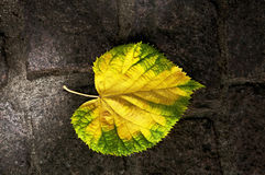 Autumn elm leaf. Yellow green elm leaf colors trees backgrounds season autumn fall vivied foliage october bright royalty free stock photos