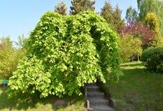 The elm is rough, a form plakuchy (Ulmus glabra Huds., var. pendula royalty free stock photo