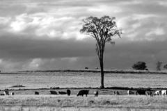 Elm Tree. Cows under lone elm tree, with horses in the distance royalty free stock photos