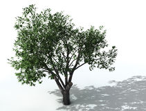 Elm tree Royalty Free Stock Images
