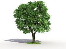 Elm tree Stock Photo