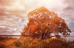 Elm tree in autumn colors Royalty Free Stock Photos