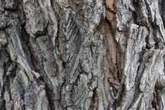 Free Elm Tree Bark In Growths And Cracks Close-up As Background Stock Photo - 154086230