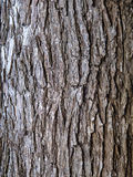 Elm Tree Bark Stock Photo