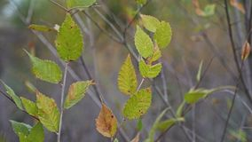 Elm tree branch nature landscape autumn yellow and green stock video