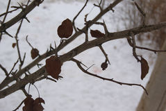 Elm tree buds and leaves in winter Royalty Free Stock Photography