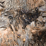 Elm tree grain Royalty Free Stock Images