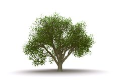 Elm tree isolated Stock Images