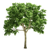 Elm Tree Isolated Stock Photography
