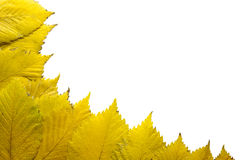Elm Tree Leaves in Autumn Background Stock Photography
